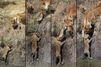 Bébés lions en danger, maman à la rescousse