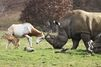 L'antilope défend son petit d'un rhinocéros curieux