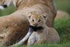 La lionne patiente laisse son petit jouer avec sa queue