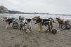 La nouvelle vie des chiens paralysés