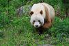 Qizai le panda marron mène sa vie
