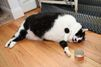 Sprinkles, la chatte obèse au régime