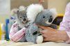 Un bébé koala se réconforte avec une peluche après la mort de sa mère
