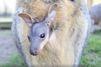 Le petit kangourou pointe le bout de son nez