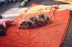 Piper le mini-cochon adore sa couverture