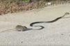 Vidéo. Une maman rat sauve son petit d'un serpent