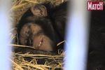 Anesthésié, un chimpanzé reçoit un implant contraceptif