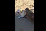 Le câlin entre un phoque et un labrador
