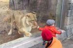 """Partie de """"jeu"""" pour une lionne et une fillette au zoo"""