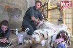 L'impressionnante anesthésie d'un tigre au zoo de La Palmyre