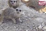 Le repas des suricates sous haute vigilance