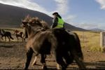 Avec les chevaux sauvages islandais