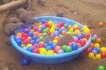 Les mangoustes s'amusent dans une piscine de boules