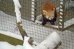Les pandas roux du zoo de New York ont apprécié la neige