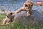 Les premiers pas des trois lionceaux en vidéo