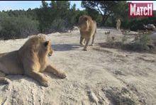 Les lions dominent la Réserve de Sigean