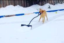 Elsa le labrador serviable déblaie la neige