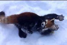 Jeux dans la neige pour les pandas roux