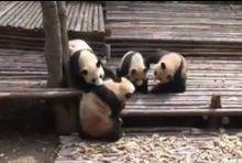 Bataille chez les pandas