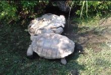 La tortue qui aidait sa congénère retournée