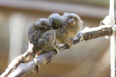 Les tout petits ouistitis pygmées sont de sortie