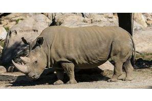 Il ne reste plus que 5 rhinocéros blancs du Nord
