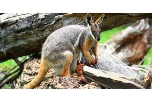 Makaia, le kangourou orphelin sauvé par un wallaby