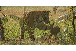L'improbable amitié d'un tigre et d'un faon