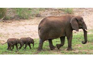 Naissance rarissime d'éléphanteaux jumeaux