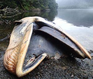 C'est l'un des plus important échouage de baleines jamais enregistré.