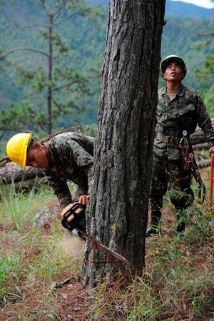 Les soldats abattent les arbres pour stopper l'expansion des coléoptères.