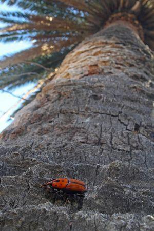 Le charançon rouge sur un palmier-dattier.