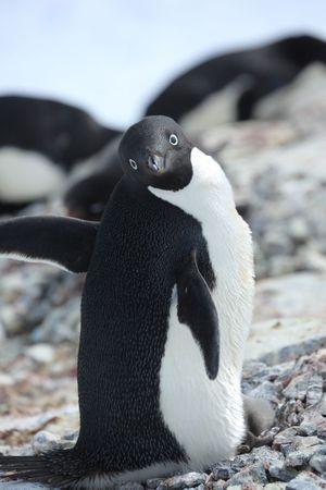 Un manchot Adélie. Très adapté au froid, il ne vit que dans l'Antarctique.