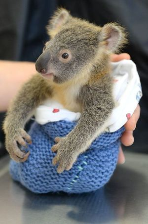 Phantom le petit koala.