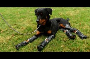 Brutus, le rottweiler bionique