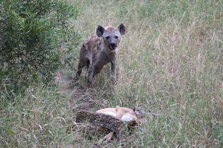 La hyène vole le repas du python