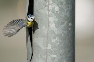 La mésange fait son nid… dans un poteau