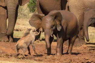Le phacochère tient tête à l'éléphanteau