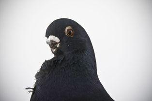 Les pigeons, des modèles (presque) comme les autres