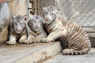 Les tigres blancs triplés sont de sortie