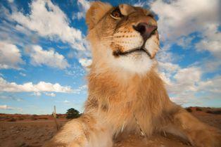 Le roi des animaux en gros plan