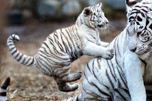 Partie de jeu pour le tigre blanc et sa mère
