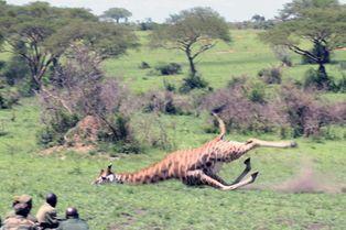 Visée par les braconniers, la girafe est sauvée