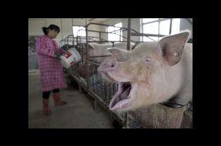 Le sourire du cochon