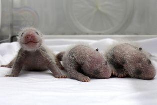 Naissance miraculeuse de triplés pandas