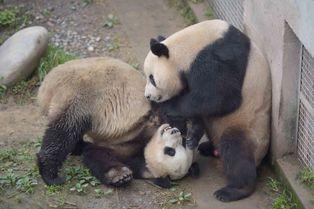 Fécondation in vitro pour les pandas