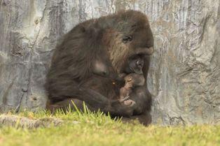 Instant de tendresse entre une femelle gorille et son petit