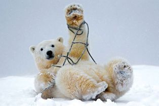 L'ours polaire et la corde