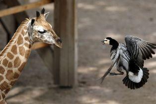 Le girafon traumatisé par un palmipède