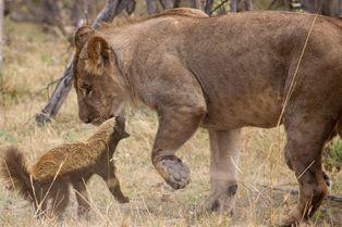 Le ratel qui faisait peur aux lions